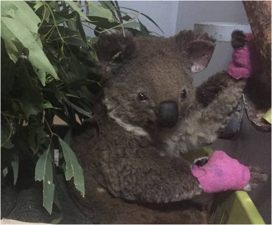 BrITE Foundation'donation for supporting installation of wildlife cameras to monitor the koalas after their release back into the local nature reserve.